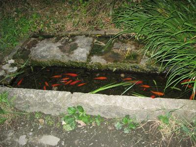 緑道の金魚
