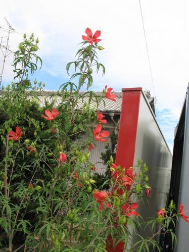 モミジアオイ Hibiscus coccineus