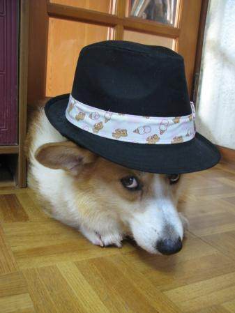 帽子コーギー