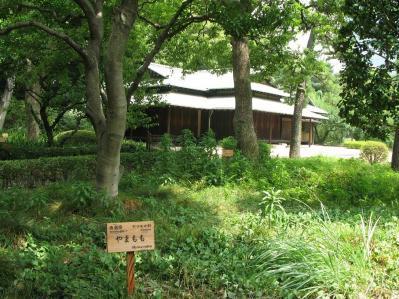徳島県 ヤマモモ