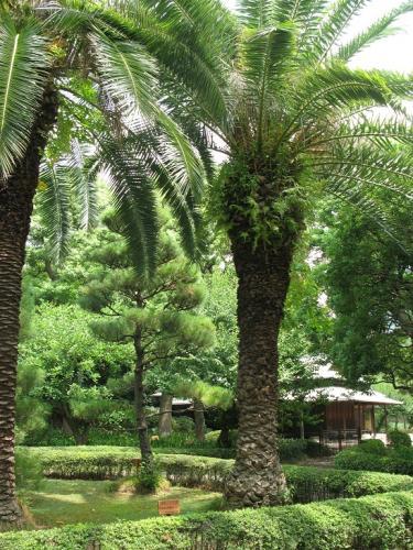宮崎県 フェニックス(カナリー椰子)