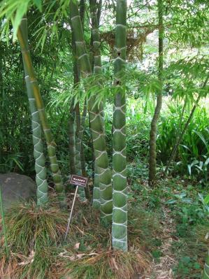 亀甲竹(キッコウチク)