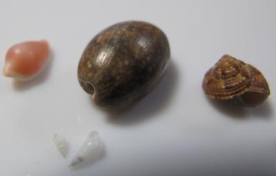ツグチガイ、ナツメガイ、コシタカエビス