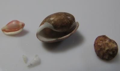 ツグチガイ、ナツメガイ、カドバリエビス