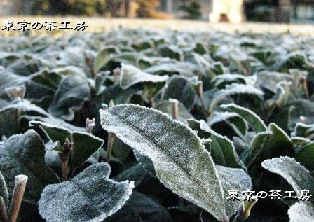 茶園2010.01