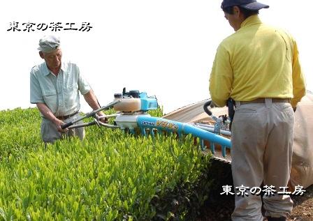 新茶収穫の写真