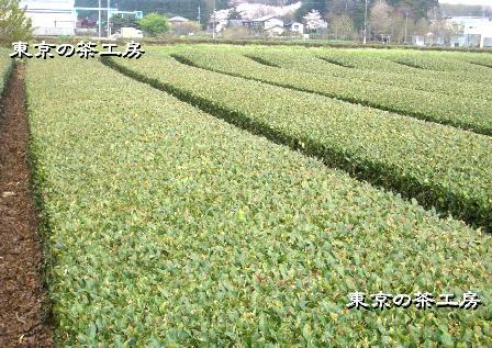 茶園2010.04