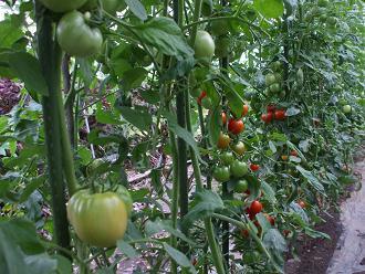 トマト 列