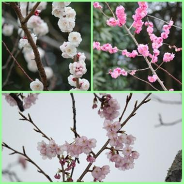 20120319館山城花