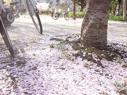 散った桜の花びらの絨毯も素敵すぎ~♪