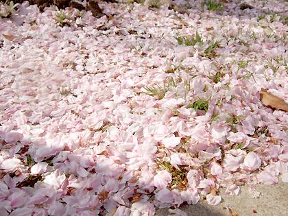 上の桜より、思わず足元に目がいっちゃいますね(*´ω`*)