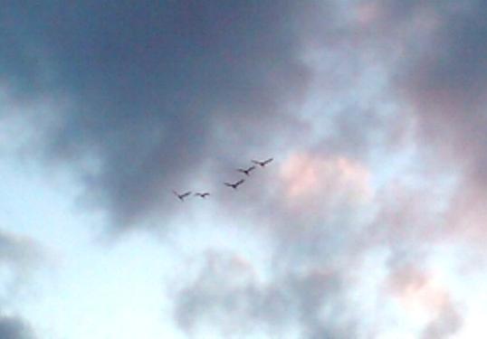 3-5家路に着く白鳥