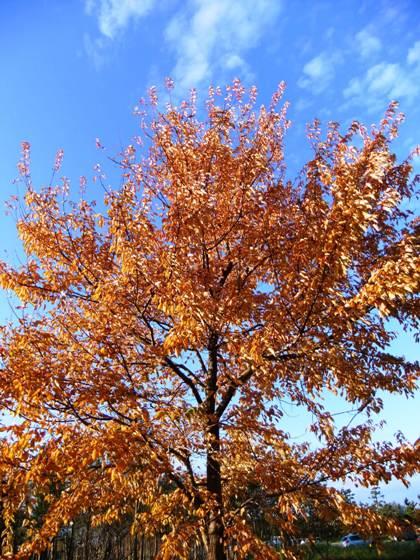 福島潟の紅葉