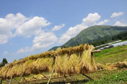 090921稲刈り3