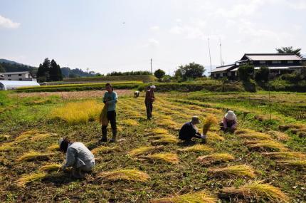 090921稲刈り1