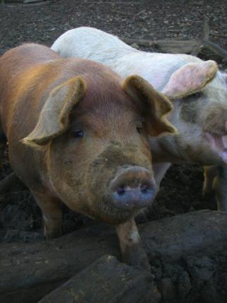 091124子豚