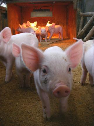 091124赤ちゃん豚