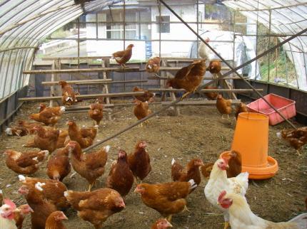 20091219鶏