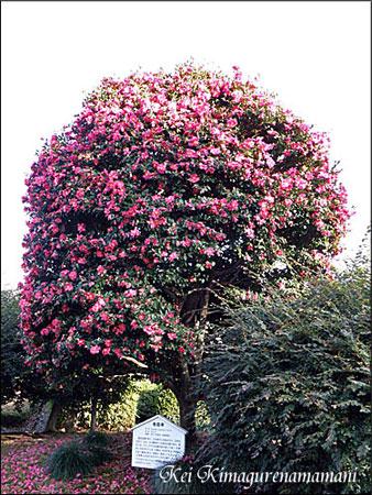 山茶花の木♪