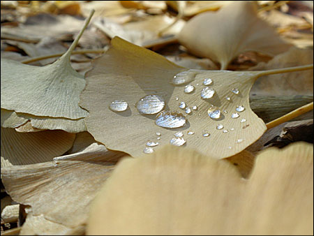 雨粒の乗ったイチョウの葉♪