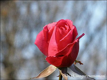 冬の薔薇♪
