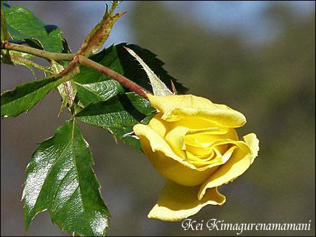 代々木公園の薔薇♪