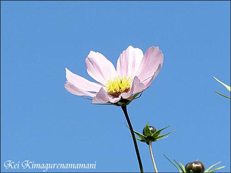 まだ咲いていた秋桜♪