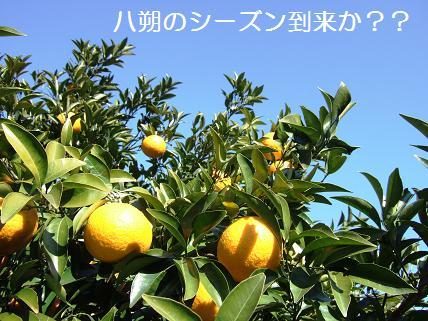 似島 八朔の木