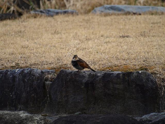 櫛形野鳥8
