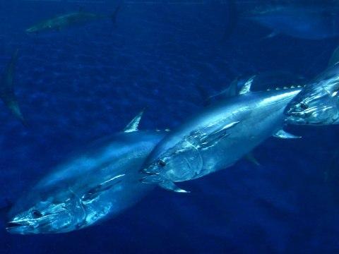 Bluefin2.jpg