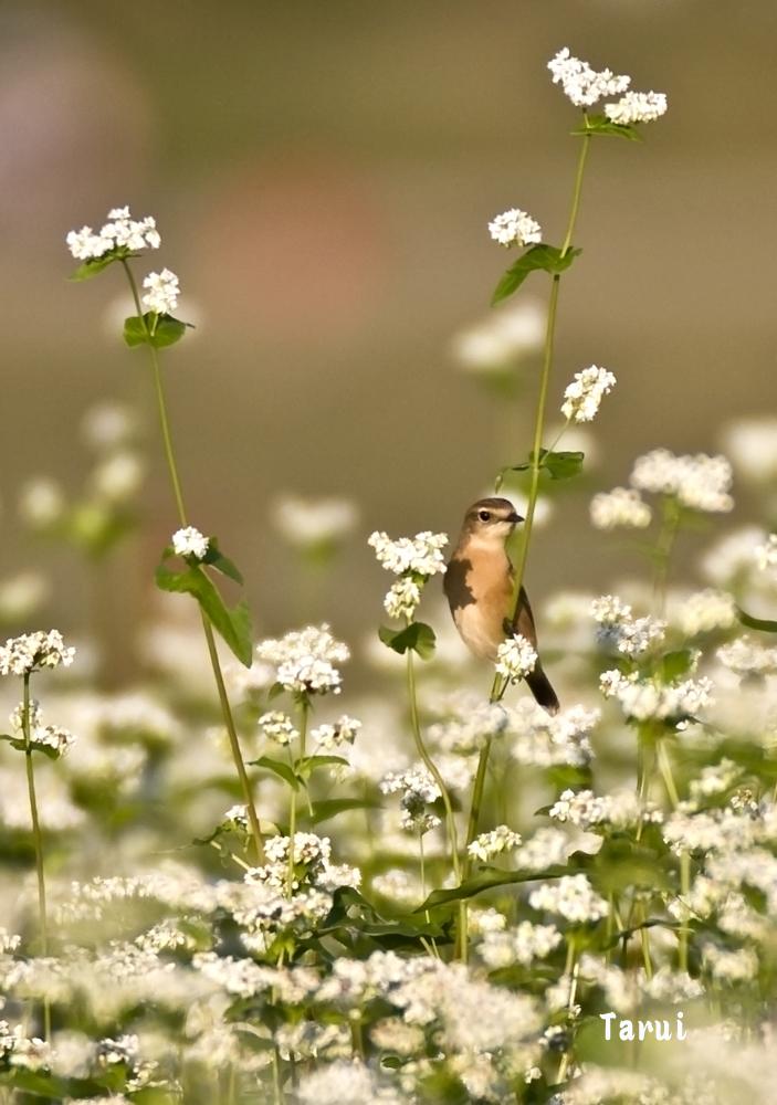 _MG_0822そばと鳥