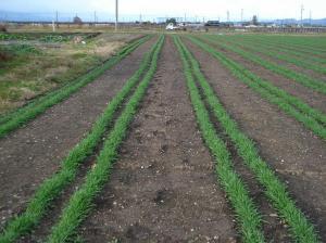 0911-15スペルト小麦2,jpg