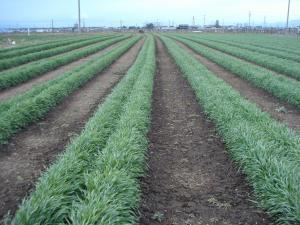 2010.3.31アメリカライ麦