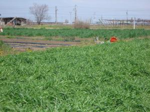 2010-4-26アメリカライ麦
