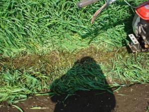 2010-4-29アメリカライ麦1