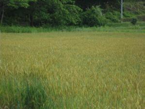 2010-6-16南部麦2