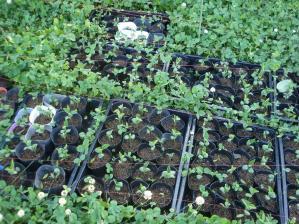 2010-6-19黒大豆