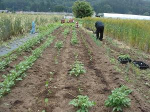 2010-6-22黒大豆,jpg