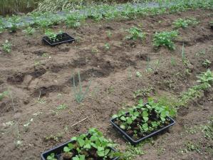 2010-6-22黒大豆,jpg (1)