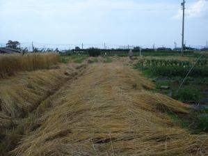 2010-7-8スペルト1小麦