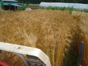 2010-7-8スペルト小麦