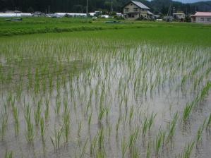 2010-7-8田んぼ4