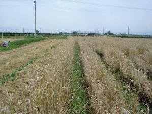 2010-7-9ライ麦3