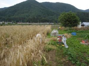 2010-7-9ライ麦2