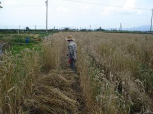 2010-7-9ライ麦