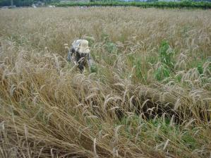 2010-7-9ライ麦1