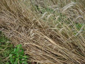 2010-7-13ライ麦
