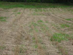 2010-7-16かえで農場大豆