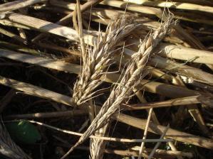 2010-7-17ライ麦5