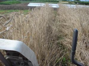 2010-7-17ライ麦